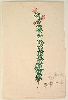 Bauera rubioides - Lewin