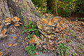 Baumpilz im Landschaftsschutzgebiet Gehrdener Berg IMG 5208.jpg
