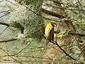 Baya Weaver (Ploceus philippinus) (29981159928).jpg