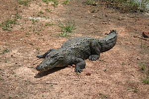 Wildlife of Mauritania - West African crocodile