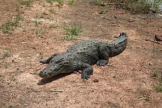 Wildlife of Mauritania - West African crocodile