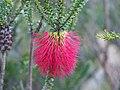 Beaufortia decussata (flowers).JPG