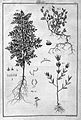 """Beauvais-Raseau, """"L'art de l'indigotier..."""", 1770; plants Wellcome L0027297.jpg"""