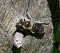 Bee ? (32328060026).jpg