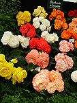 Begonia display.jpg