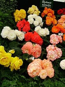 Begonia - Wikipedia