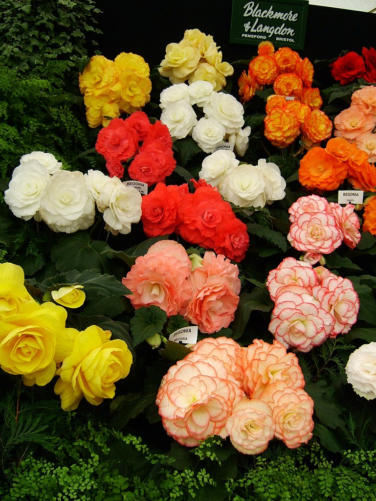 Display of tuberous begonias, Hampton Court Flower Show