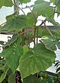 Begonia hispida var. cucullifera 03.jpg