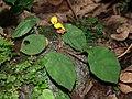 Begonia mildbraedii (Begoniaceae) (24077503999).jpg