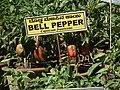 Bell pepper plant from lalbagh 2317.JPG