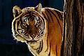 Bengal Tiger Portrait.jpg