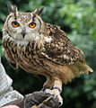 Bengalese Eagle Owl 1 (2693020820).jpg