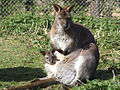 Bennetts-wallaby-at-wwp.jpg
