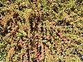 Berberidaceae Berberis wilsoniae 1.jpg