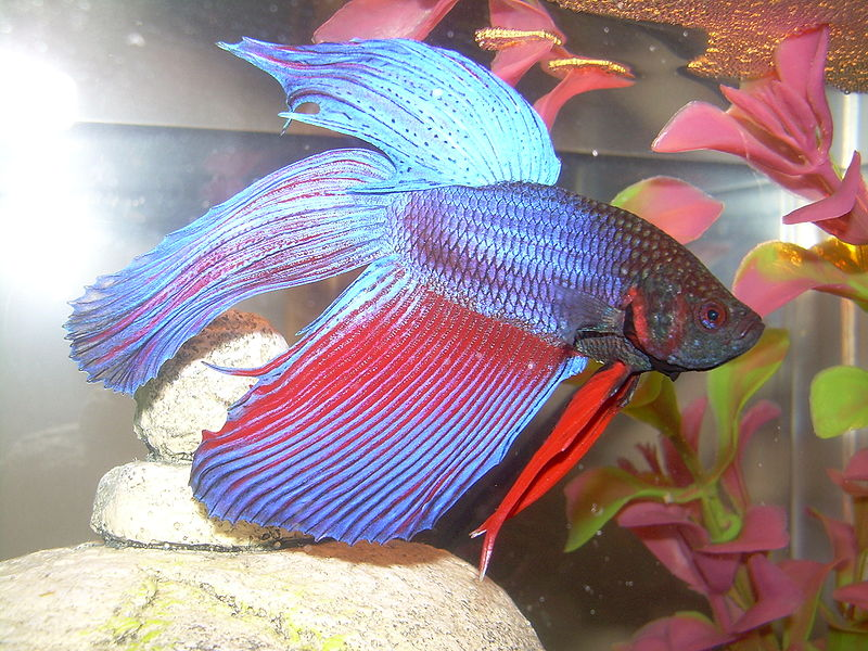 http://upload.wikimedia.org/wikipedia/commons/thumb/2/24/Betta_splendens02.JPG/800px-Betta_splendens02.JPG