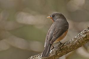 Kashmir flycatcher - Kashmir flycatcher, Ooty, Tamil Nadu India