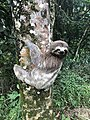Bicho-preguiça 2.jpg