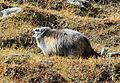 Big fat marmot (8016594650).jpg