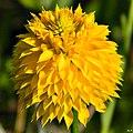 Big yellow milkwort (Polygala rugelii) (7119963547).jpg