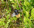 Bilberry Bumblebee. Bombus monticola - Flickr - gailhampshire.jpg