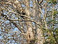 Bird Great Hornbill Buceros bicornis at nest DSCN9018 17.jpg