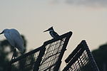 Birds on the harbour of Lake Victoria.jpg