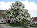 Birnbaum in voller Blüte.jpg