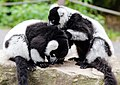 Black-and-white ruffed lemur 03 (cropped).jpg