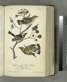 Black-and-yellow Wood-Warbler. 1. Male. 2. Female. 3. Young. (Flowering Raspberry. Rubus odoratus.) (NYPL b13559627-108354).tiff