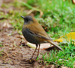 Description de l'image Black-billed Nightingale-thrush.jpg.