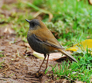 Black-billed Nightengale Thrush at the Mirador...