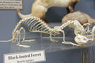 Black-footed ferret - Skeletons of black-footed ferret (left) and prairie dog (right) articulated to show the predator-prey relationship between the two. (Museum of Osteology)
