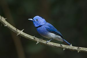 Black-naped Monarch - Thailand S4E7277 (19449130711).jpg