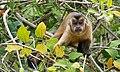 Black-striped Tufted Capuchin (Cebus libidinosus) - Flickr - berniedup.jpg