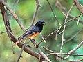 Black Redstart (Phoenicurus ochruros) at Sindhrot near Vadodara, Gujrat Pix 119.jpg