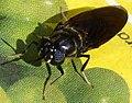 Black Soldierfly. Stratiomyiidae. Hermetia illuscens (32704943740).jpg