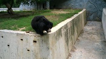 Black bear-1.jpg