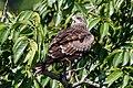 Black kite Milvun migrans 55 68.6 cm.jpg