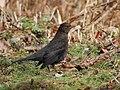 Blackbirds at Blashford Lake - geograph.org.uk - 1165414.jpg