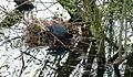 Blaesshuhn verl nest.jpg