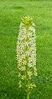 Bloeiwijze van Eucomis pole-evansii. Familie Asparagaceae. Locatie, Tuinreservaat Jonkervallei 02.jpg