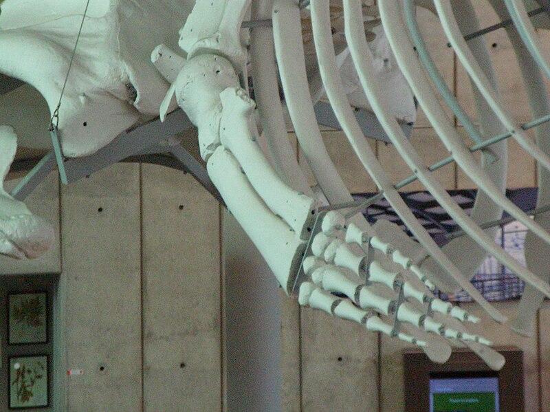 800px-Blue_Whale_skeleton_CAS_left_lateral_flipper.JPG