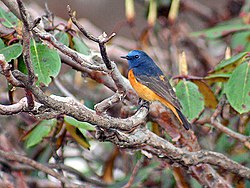 Blue fronted Redstart- Male I3 IMG 3519.jpg