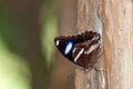 Blue spot butterfly close-up (5381052564).jpg