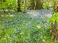 Bluebell Wood, Hampshire - panoramio.jpg