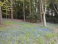 Bluebells Leicestershire's.jpg