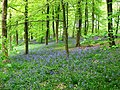 Bluebells in profusion in the woods - geograph.org.uk - 1301152.jpg