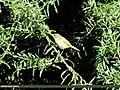 Blyth's Reed Warbler (Acrocephalus dumetorum) (15265966954).jpg