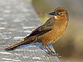 Boat-tailed Southport RWD SPc.jpg