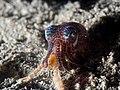 Bobtail squid (Euprymna berryi) (14409645142).jpg